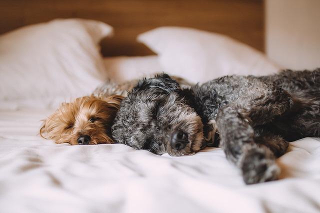 Dvaja psi ležiaci na posteli.jpg